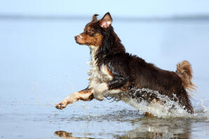 An adult australian shepherd enjoying a splash in the water