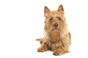 A scrappy little australian terrier showing off his beautiful eyes