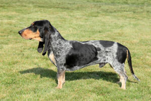 A Basset Bleu De Gascogne with a sleek long body and short legs
