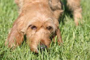 A Basset Fauve De Bretagne with lovely wirey fur