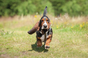 A Basset Hound running with it's tail in the air