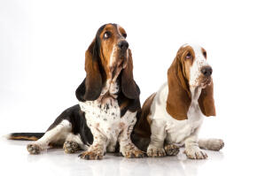 Two adult Basset Hounds sitting comfortably