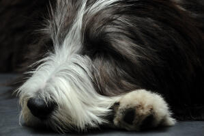 A close up of a Bearded Collie's beautiful long coat