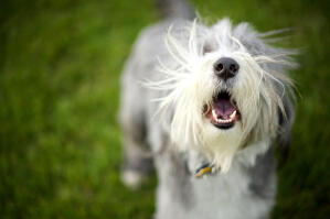 A lovely little Bearded Collie puppy enjoying the outdoors