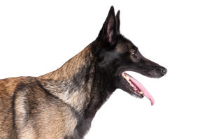 A close up of a Belgian Malinois' strong head shape and pointed ears