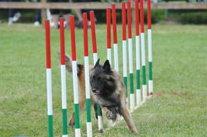 A nimble Belgian Shepherd Dog (Tervueren) on an agility course