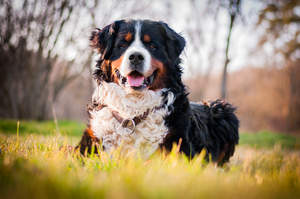 A beautiful adult Bernese Mountain Dog, lying in the grass