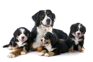 A family of Bernese Mountain Dogs