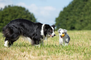 An adult Border Collie teaching a puppy how to play