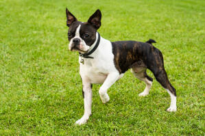 A lovely, little male Boston Terrier, ready to play