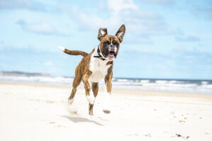 A happy boxer bouncing up the beach