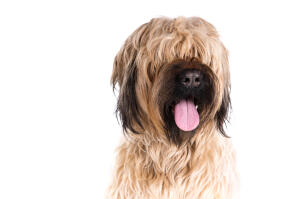 A close up of a Briard's lovely scruffy fringe