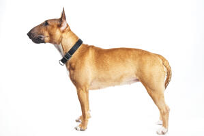A female, adult Bull Terrier with a beautiful physique