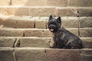 A beautiful, little black Cairn Terrier sitting neatly on a step