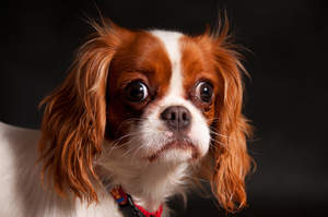 A close up of a beautiful Cavalier King Charles Spaniel long, soft coat