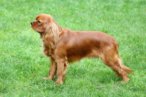 A red Cavalier King Charles Spaniel showing off it's beautiful, long body