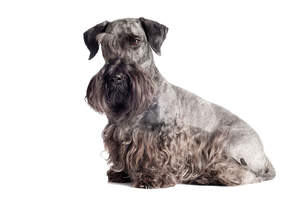 An adult Cesky Terrier with a beautifully groomed grey and black coat