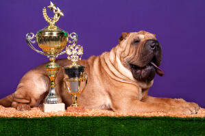 An award winning pedigree Chinese Shar Pei