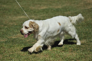 A beautiful, young Clumber Spaniel pup with a lovely soft coat