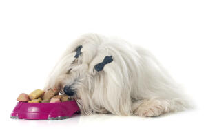 A Coton De Tulear enjoying some dinner