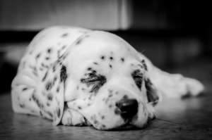 A beautiful, little Dalmatian pup enjoying some rest