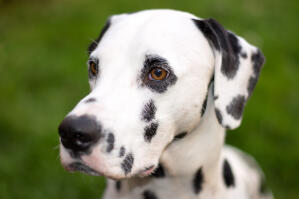 A close up of a Dalmatian's incredible, big eyes
