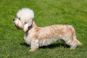 A beautiful, little Dandie Dinmont Terrier showing off its long body