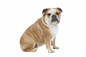 A beautiful adult English Bulldog sitting very neatly