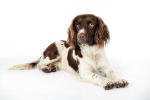 A beautiful English Springer Spaniel puppy with a very soft coat