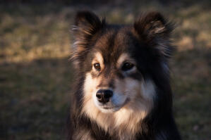 A close up of a Finnish Lapphund's beautiful short nose and soft coat