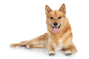 A lovely young Finnish Spitz with a thick, soft coat and sharp, alert ears