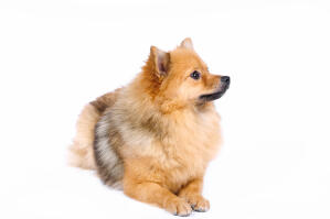 A fluffy little German Spitz (Klein)