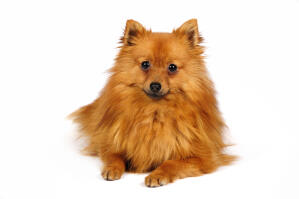 A little German Spitz (Klein) with a fluffy orange coat