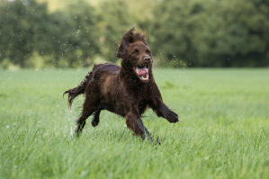 a wet german longhaired pointer charging through the countryside