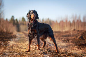 A Gordon Setter standing tall, showing off it's incredible physique