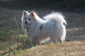 A healthy adult Japanese Spitz with a thick soft coat and bushy tail