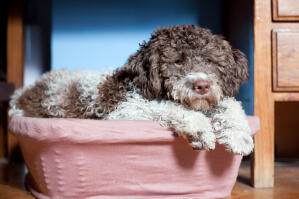 A tired Lagotto Romagnolo snuggling into his basket