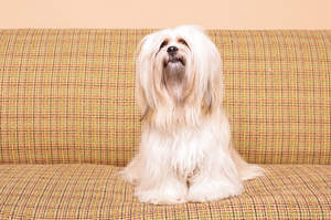 A Lhasa Apso with a lovely, long, soft coat, sitting up on the sofa