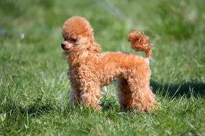 A Miniature Poodle with an beautiful, well groomed coat