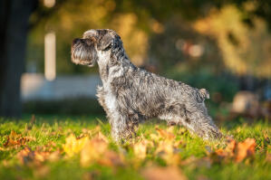 A Miniature Schnauzer showing off it's incredible, healthy body and well groomed coat