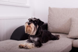 A Miniature Schnauzer with a lovely, long beard, lying on the sofa