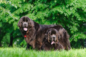 Two wonderful adult Newfoundlands, resting in the grass together