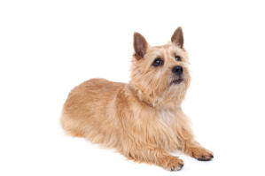 A healthy adult Norwich Terrier with a lovely, thick, coat