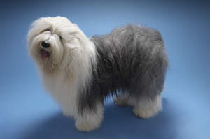 A young, adult Old English Sheepdog, showing off its well groomed coat