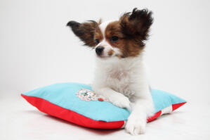 A Papillon enjoying a rest on a comfy bed