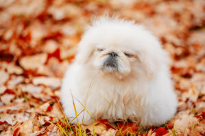 A Pekingese with a lovely, thick white coat getting some exercise outside