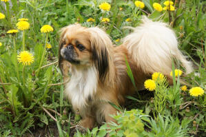 A young Pekingese with a beautiful bushy tail and well groomed ears