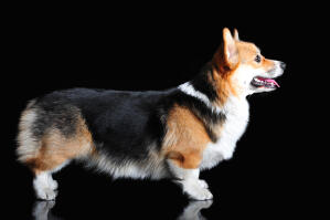 A Pembroke Welsh Corgi's wonderful, long body and short legs