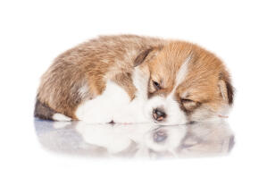 A gorgeous little Pembroke Welsh Corgi having a nap