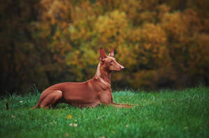 A wonderful adult Pharaoh Hound resting, lying neatly in the grass